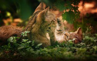 Бесплатные фото кошка,котенок,шерсть,окрас,порода,трава,поле