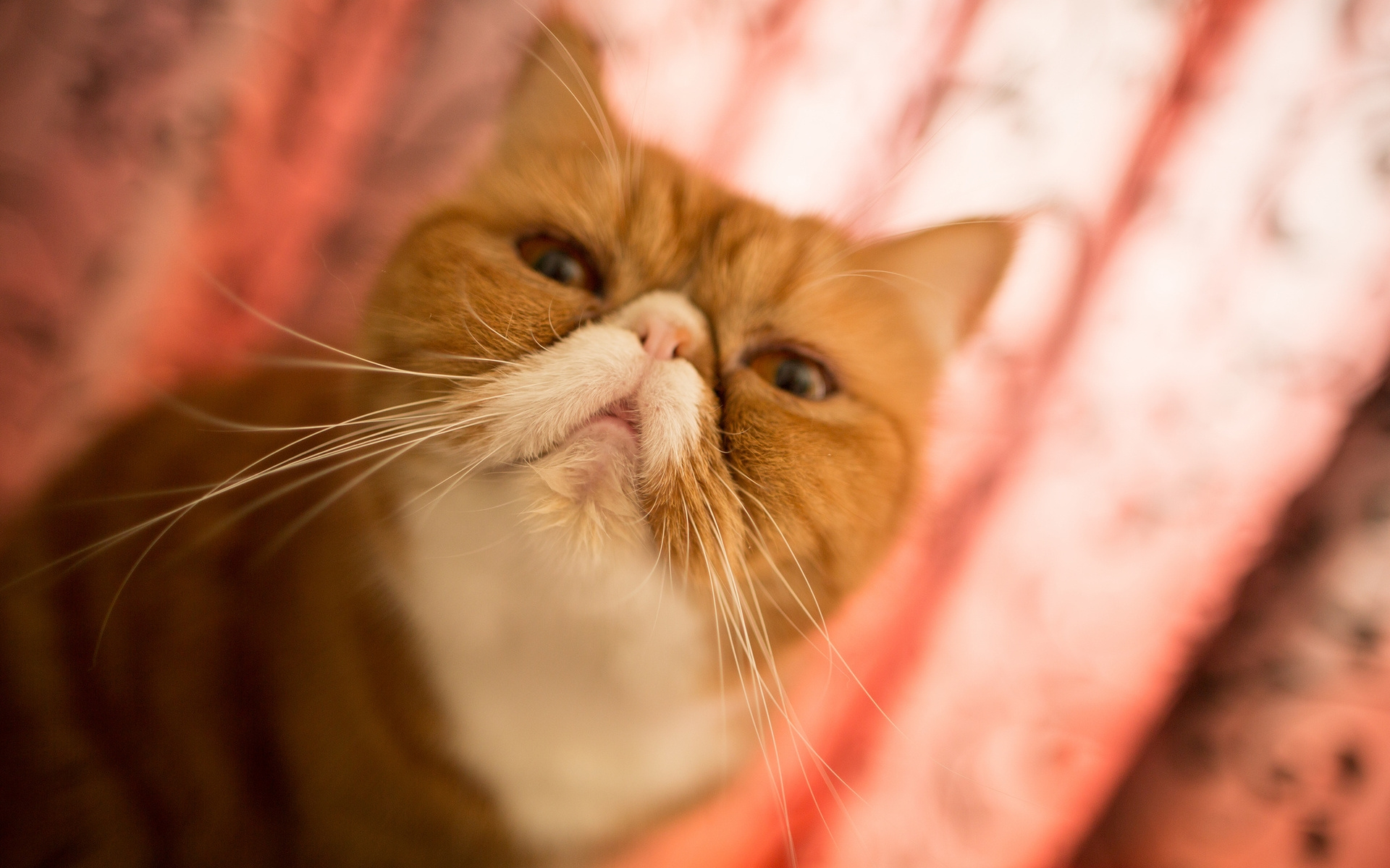 кот, персидский, рыже-белый