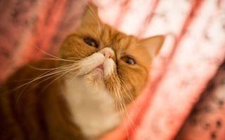 Фото бесплатно кот, персидский, рыже-белый