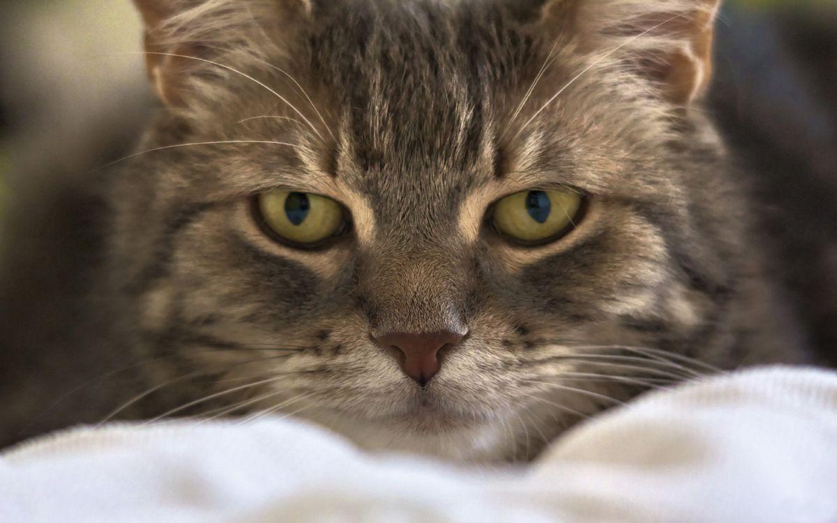 Фото бесплатно кот, голова, уши, усы, нос, рот, шерсть, взгляд, лежит, кровать, кошки, кошки