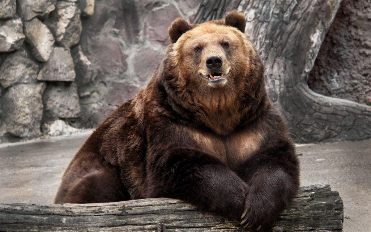 Photos for free bear, head, paws - to the desktop