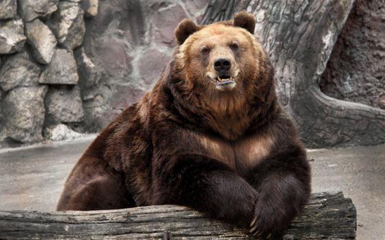 Бесплатные фото медведь,голова,лапы,шкура,уши,зубы,животные