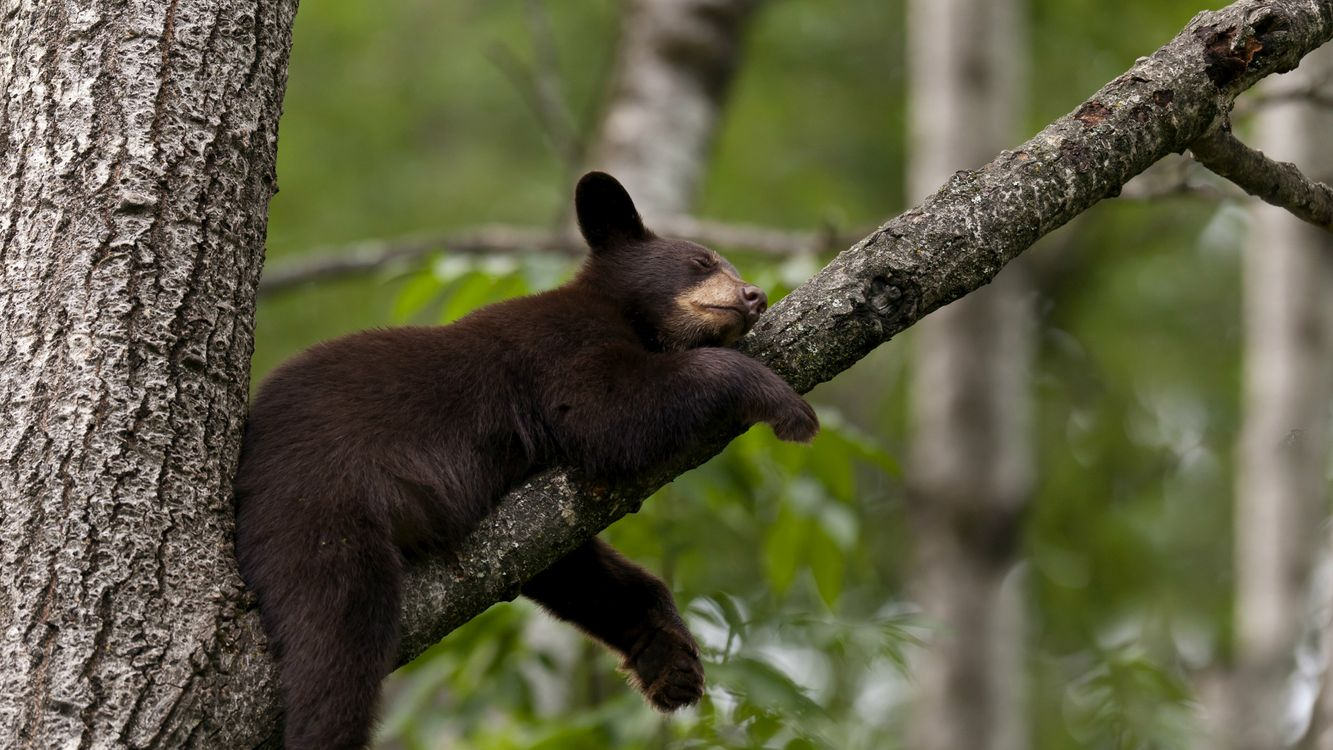 Фото бесплатно медведь, гризли, шерсть, лапы, хищник, сон, дерево, кора, ветка, лес, животные, животные
