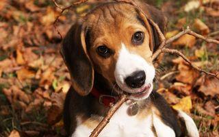 Заставки пес, ветка, зубы