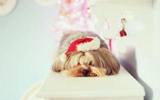Бесплатные фото пес,новый,год,шапочка,усталость,собаки