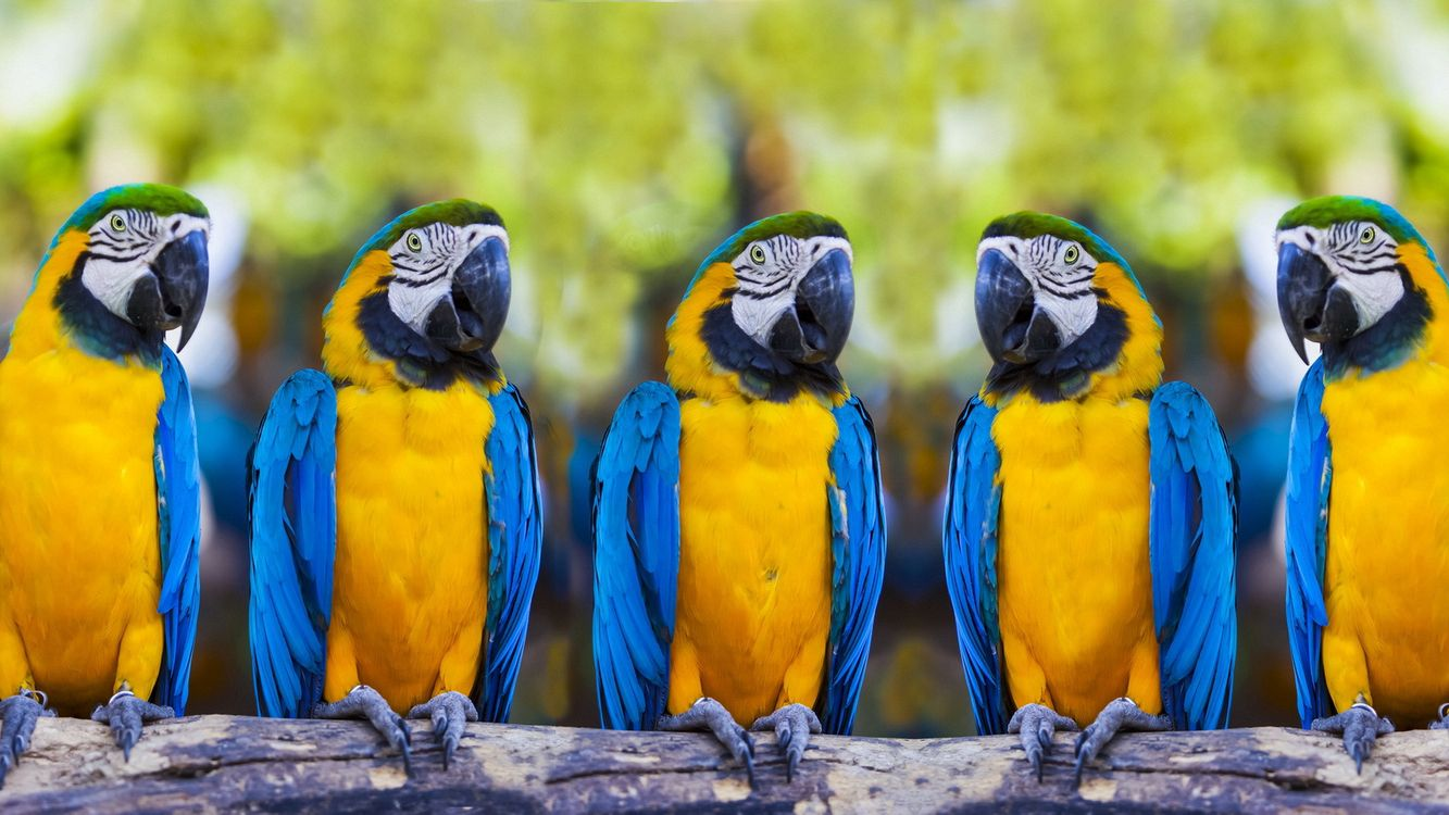 Фото бесплатно попугаи, синий, желтый - на рабочий стол