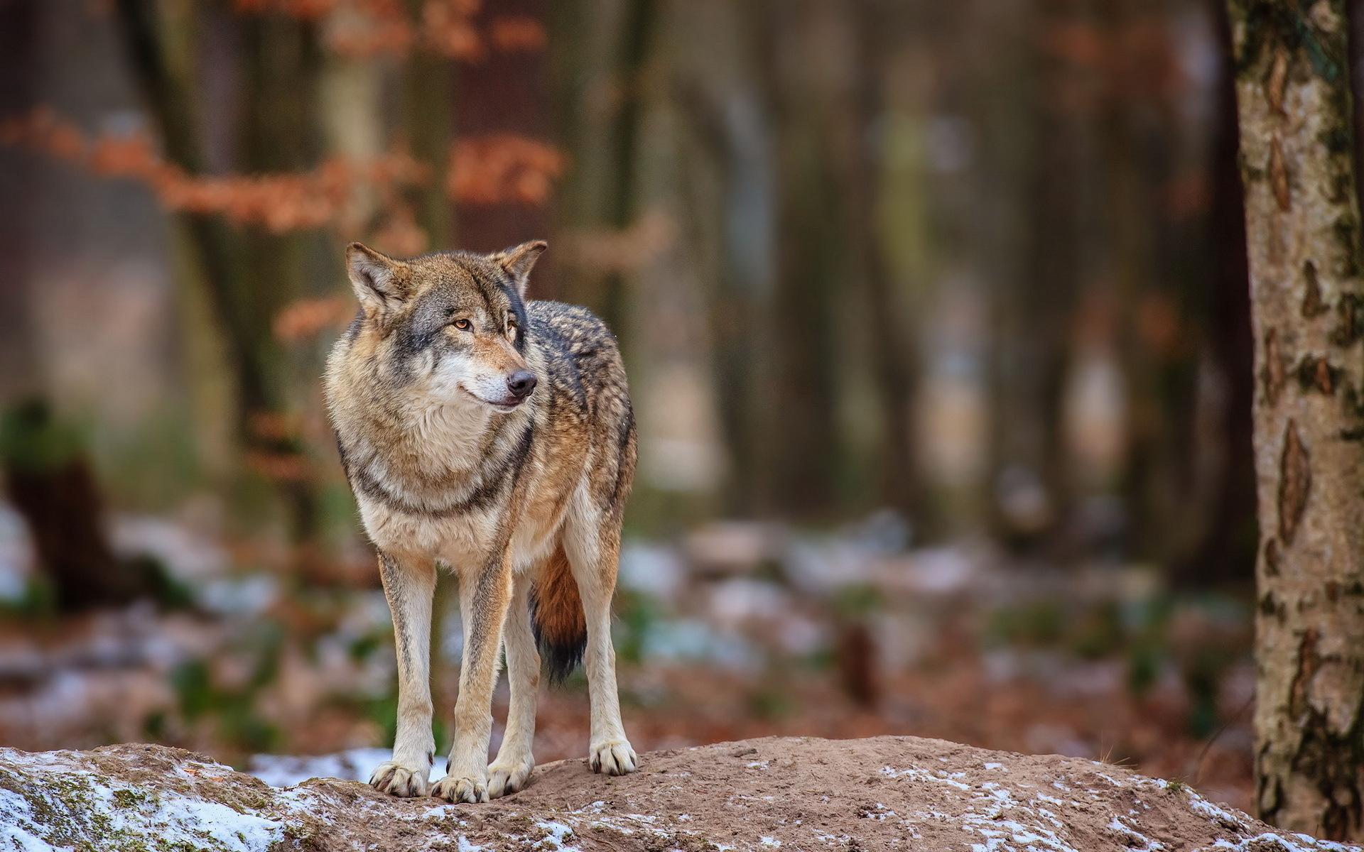 волки в лесах картинки фото слишком замысловатое