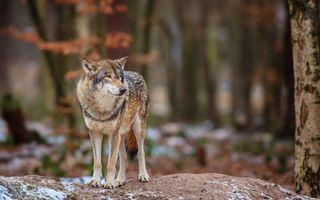 Фото бесплатно волк, морда, глаза