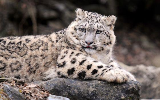 Photo free IRBIS, leopard, snow leopard