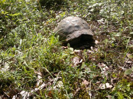 Бесплатные фото черепаха,земля,листья,трава,зелень,засохшие листья,животные,природа,рептилии