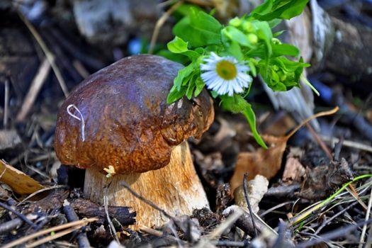Бесплатные фото гриб,боровик,белый,лес,опушка,трава,цветок,ромашка,листья,кора,природа,разное