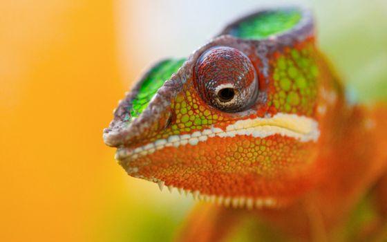 Фото бесплатно хамелеон, ящерица, цветная, глаза, чешуя, гребень, животные
