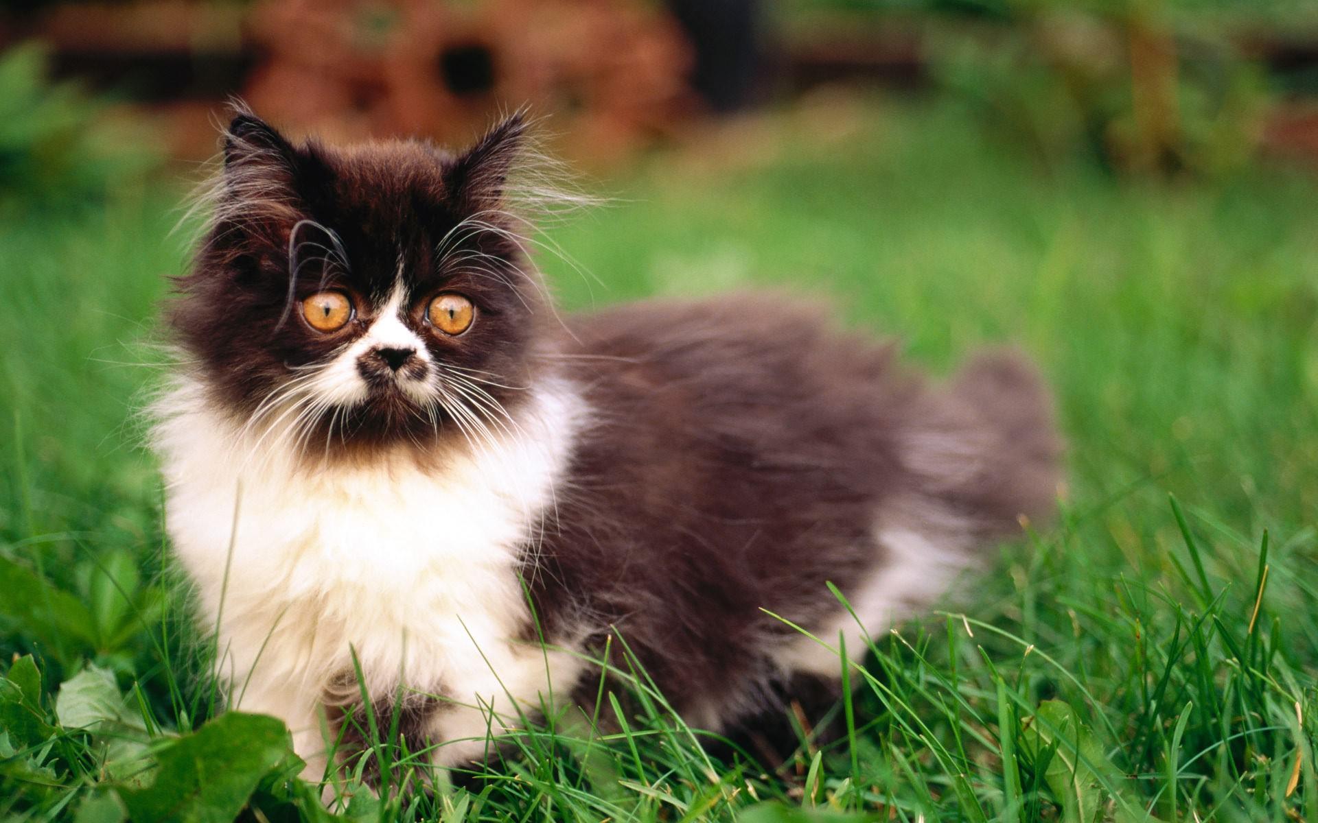 кот, пушистый, глаза