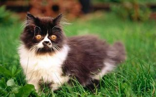 Бесплатные фото кот, пушистый, глаза, желтые, черный, белый, кошки