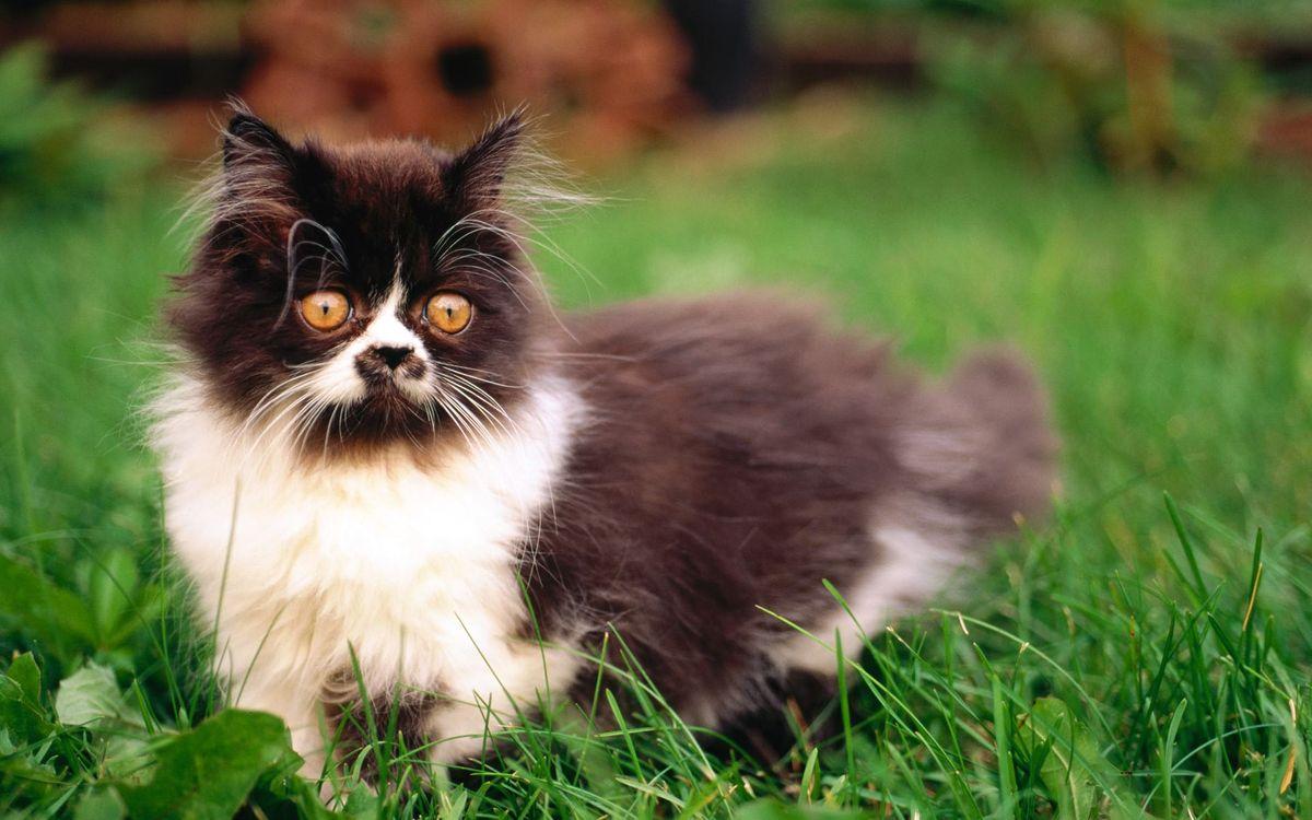 Фото бесплатно кот, пушистый, глаза, желтые, черный, белый, кошки, кошки