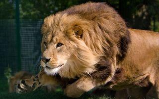 Бесплатные фото лев,бег,охота,грива,шерсть,взгляд,хищник