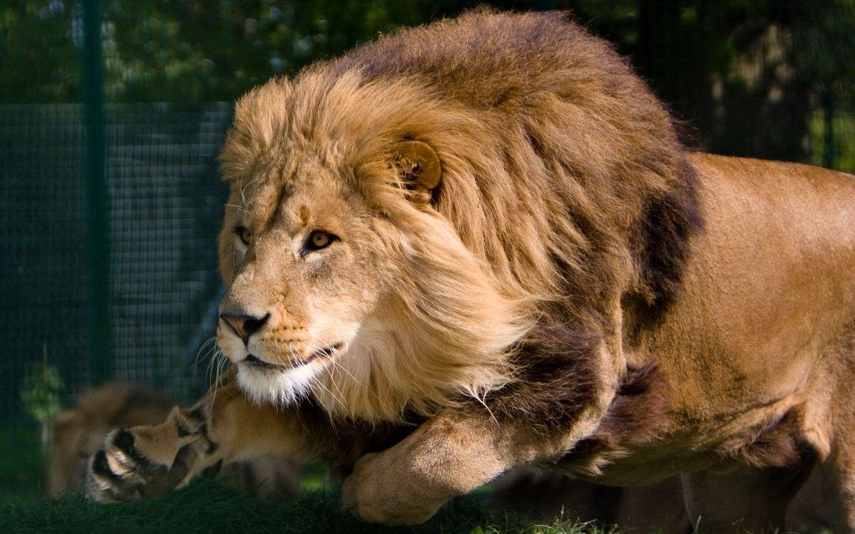 Фото бесплатно лев, бег, охота - на рабочий стол