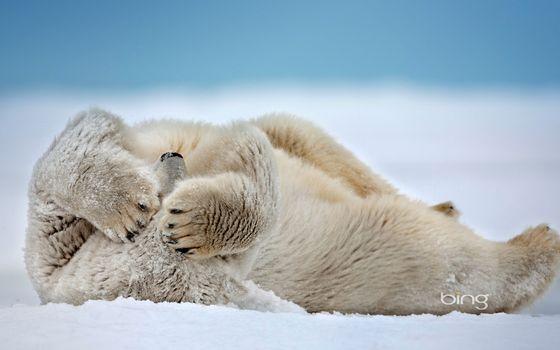 Photo free bear, white, snow