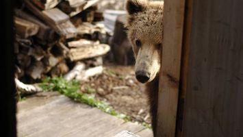 Бесплатные фото медведь,дрова,трава,дом,шерсть,глаза,уши
