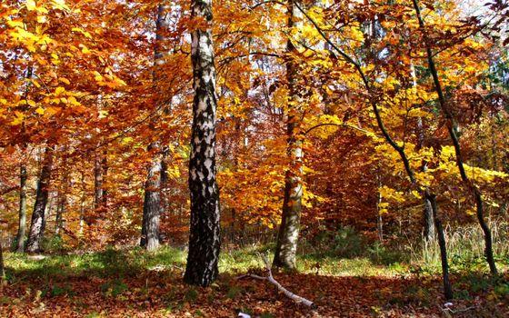 Заставки осень,листопад,береза,листья,солнечный,день,лес,природа
