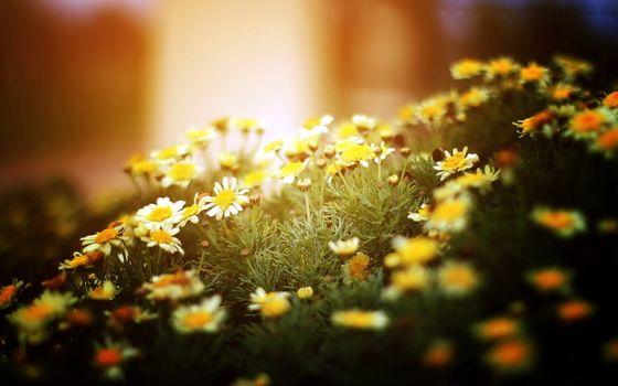 Бесплатные фото ромашки,трава,поле,луг,заставка,бутон,лето,лепестки,стебель,цвести,природа,цветы
