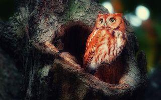 Бесплатные фото сова,рыжая,взгляд,неожиданность,дерево,дупло,птицы