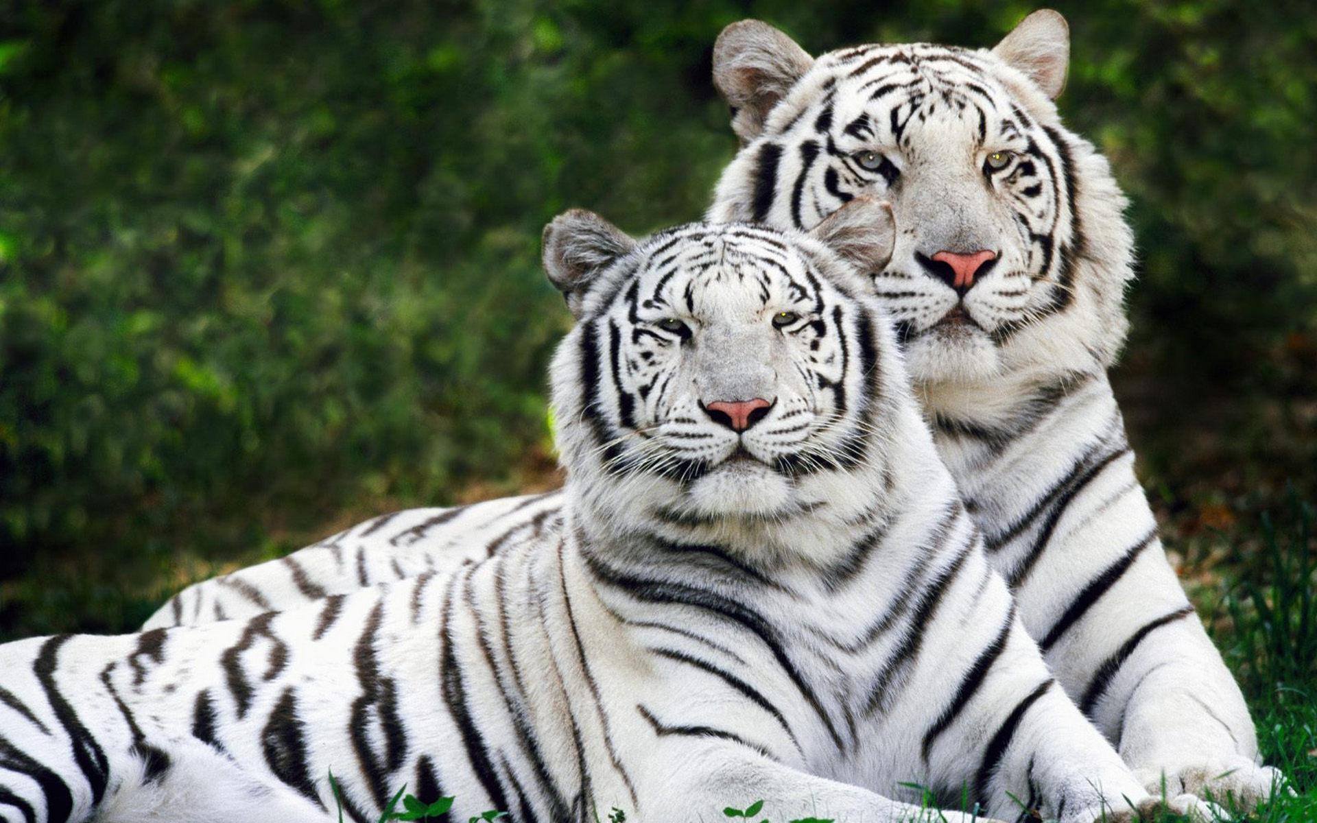 Фото обои на рабочий стол тигр