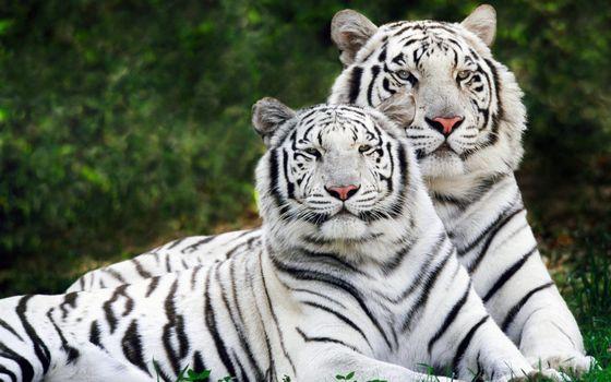 Заставки тигры, бенгальские, окрас