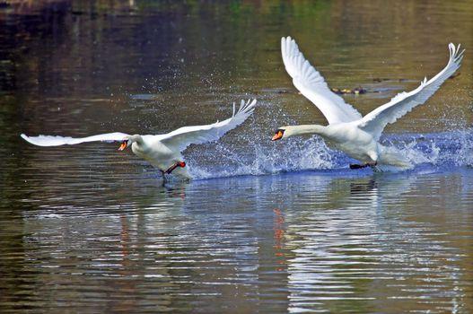Фото бесплатно вода, птицы, лебеди