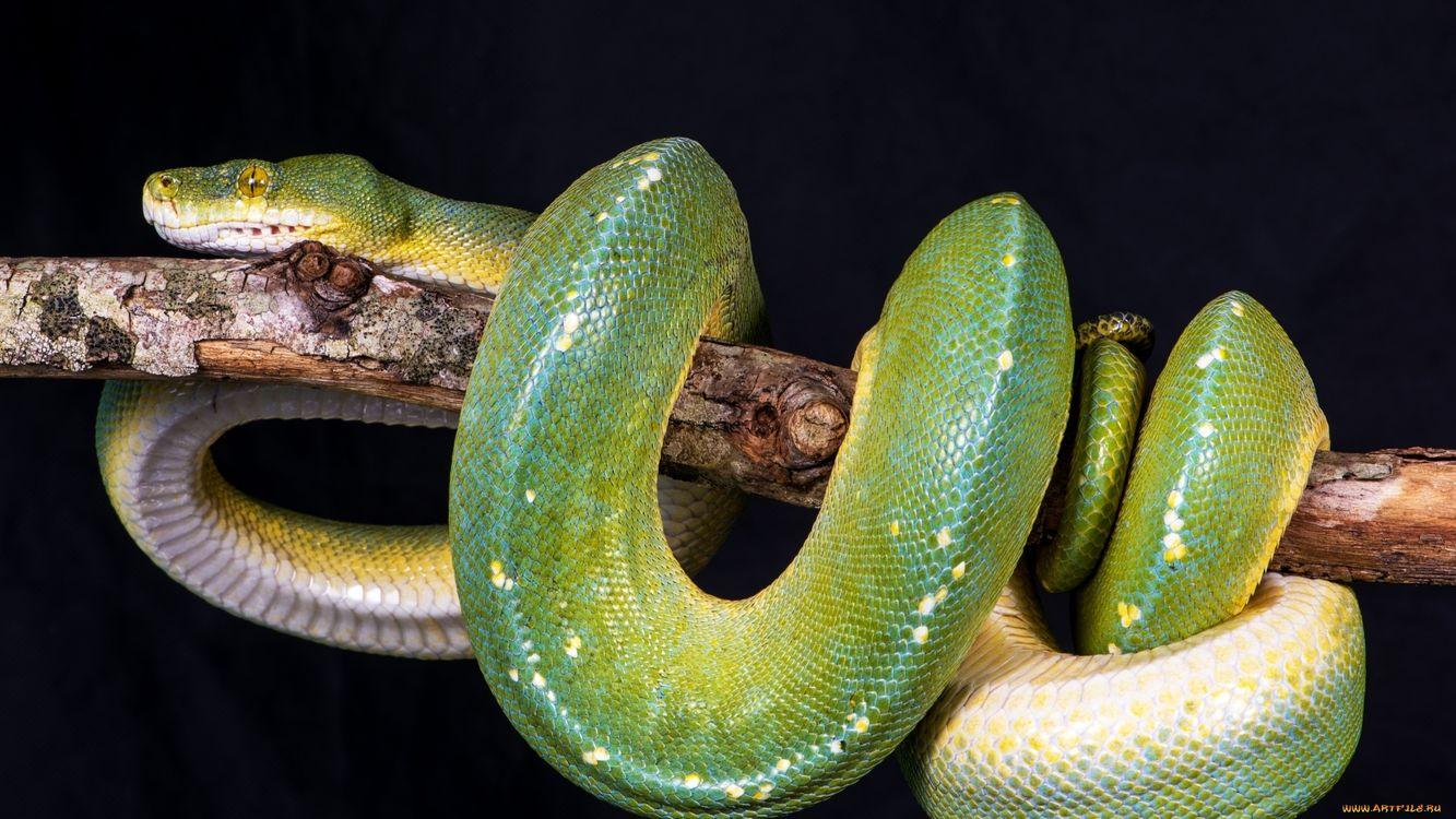 Фото змея зеленая голова - бесплатные картинки на Fonwall