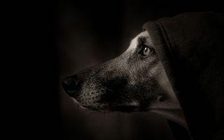 Фото бесплатно собака, в капюшоне, черный фон