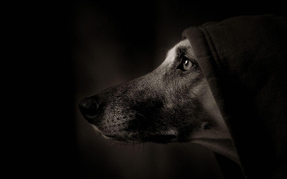 Обои собака, в капюшоне, черный фон картинки на телефон