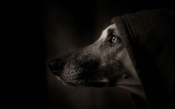 Photo free dog, in hood, black background