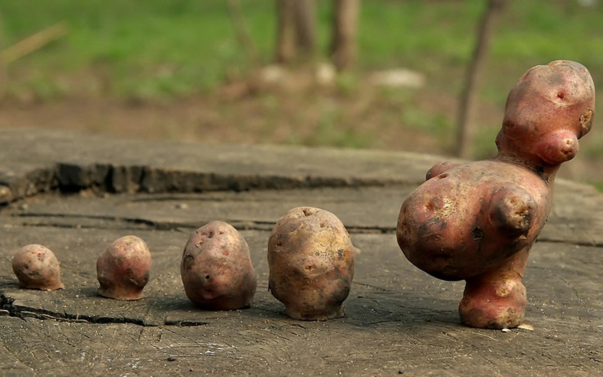 картошка, несколько, пень