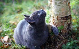 Заставки кот, дымчатый, уши