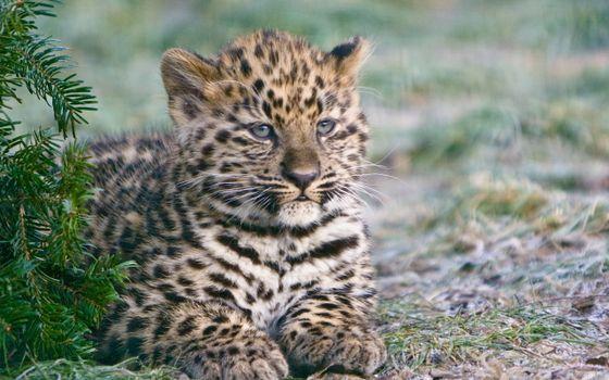 Фото бесплатно котенок, гепард, тигренок, пятнышки, окрас, шерсть, лапы, рот, усы, уши, елка, животные