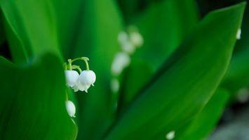Бесплатные фото ландыши,лепестки,белые,стебель,листья,зеленые,цветы