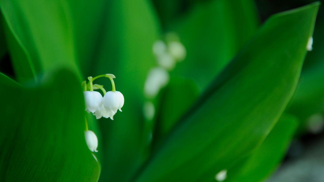 Фото бесплатно ландыши, лепестки, белые, стебель, листья, зеленые, цветы, цветы