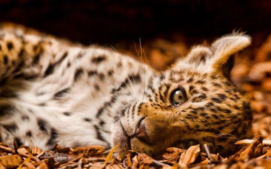 Заставки леопард, глаза, шерсть