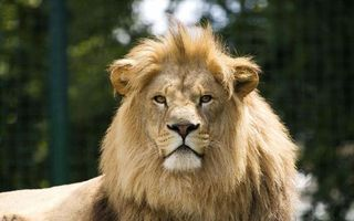 Photo free lion, menacing, proud