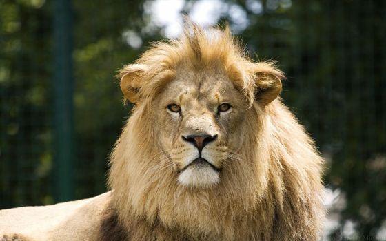 Фото бесплатно лев, грозный, гордый