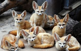 Photo free foxes, ears, muzzle