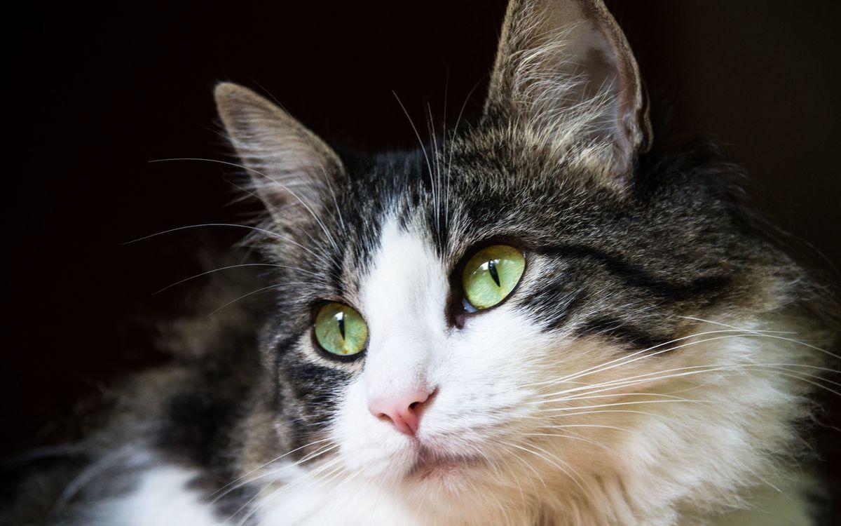 Фото бесплатно пушистая, кошка, глаза - на рабочий стол