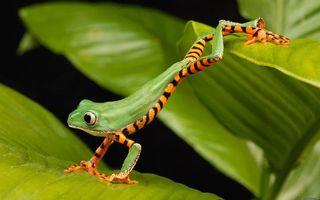 Обои трава, лист, яд, ядовитая, пятнистая, зеленая, лапки, глаза, лес, фон, зелень, животные