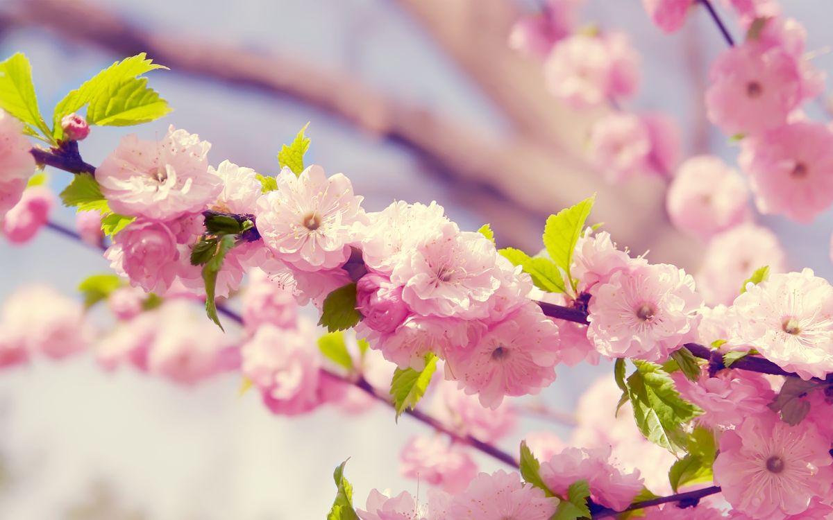 Обои цветки, лепестки, ветка, дерево, весна, тепло, розовые, бутоны, листья, сад, цветы на телефон | картинки цветы
