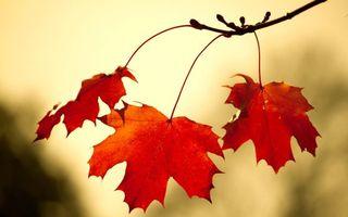 Бесплатные фото ветка,листья,красные,клен,фон,светлый,осень