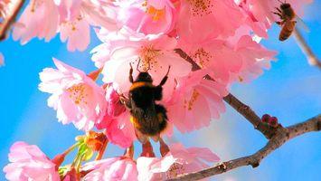 Бесплатные фото вишня,цветки,весна,пчела,шмель,нектар,мед