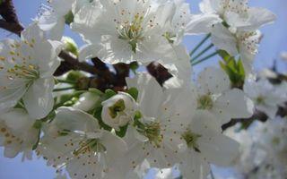 Фото бесплатно яблоня, цветет, ветки