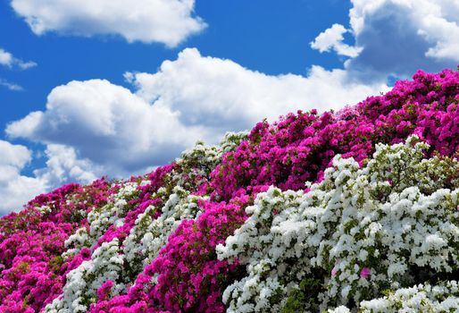 Фото бесплатно азалия, кусты, небо, облака, цветы