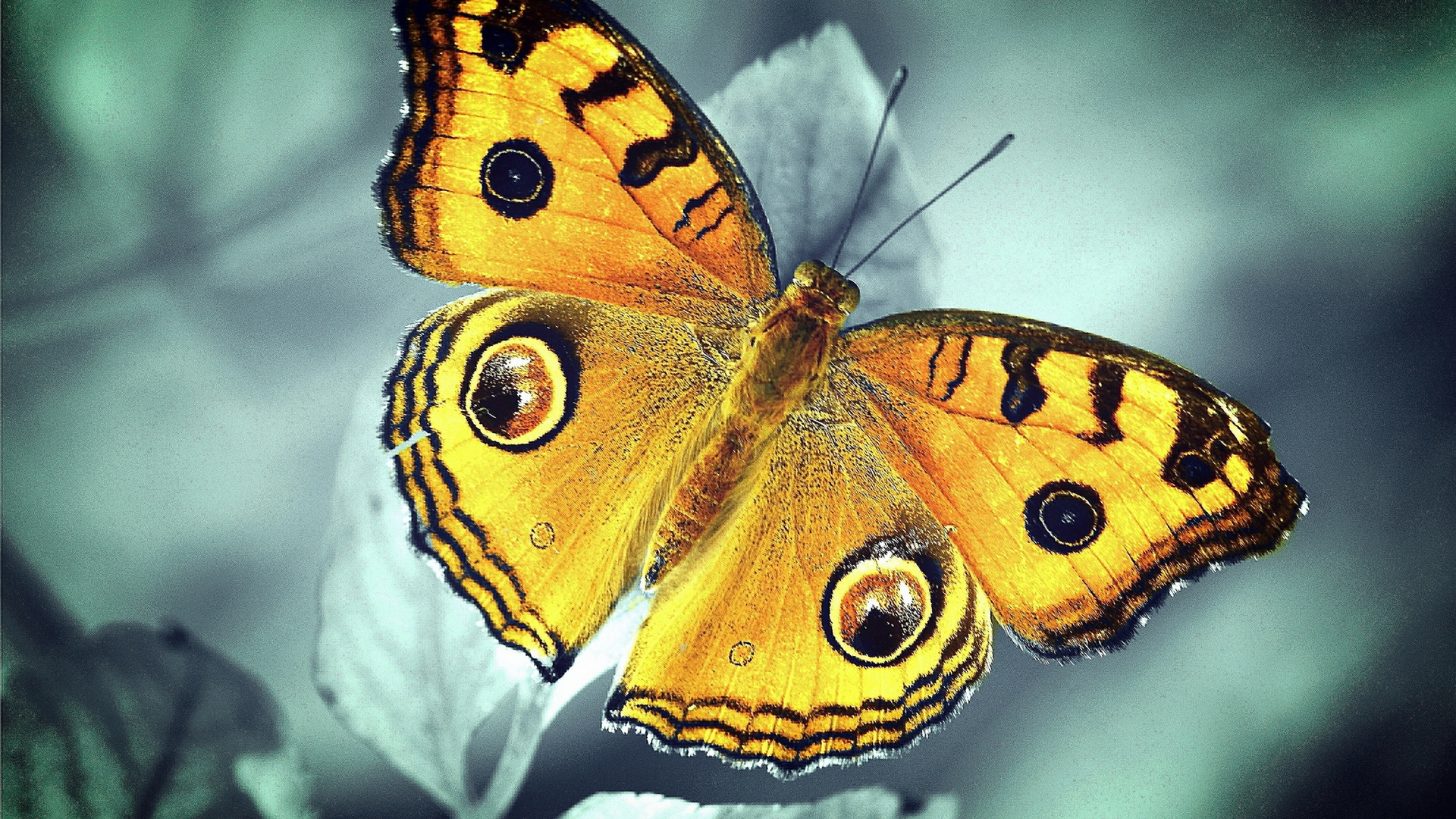 бабочка, желтая, крылья